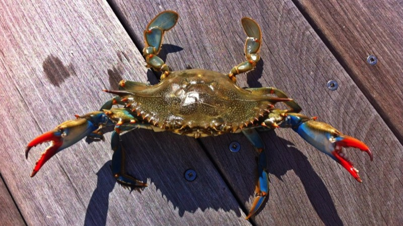 Atlantic Blue Crab holding up claws