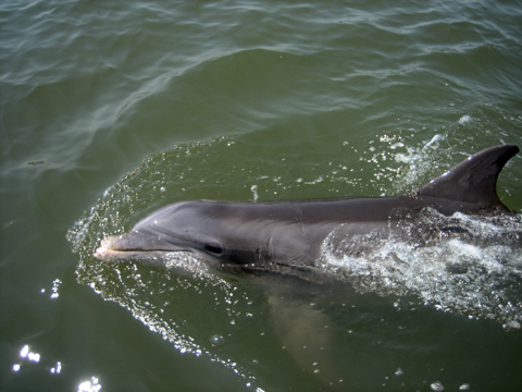 Hilton Head dolphin swimming next to tour boat